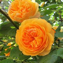 Best Price 100 Seeds Rose Orange Climbing Flower,Diy Rose Seeds A00097 Dg - $6.99