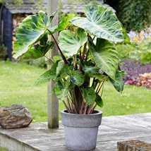 Elephant Ear Large Bulbs Colocasia Esculenta Mojito Taro Plant Shipped o... - $24.89