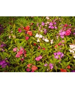 50+ Mix Camilla Balsam Impatiens Touch Me Not Flower Seeds Purple, Pink,... - $7.99