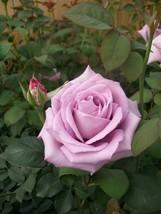 Blue Girl Rose Mauve Lavender 3 Gal Live Bush Plants Hybrid Tea Plant Fine Roses - $53.30