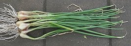 661 seeds White Spear Bunches Onion Tree Seeds For Planting - $24.75