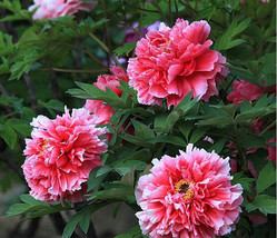 Rare White Red Tree Peony Tree Seeds 5PCS Great for Garden Flowers - $13.03