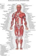 MUSCULAR SYSTEM ANTERIOR 24 X 36 INCH POSTER | anatomy | medical school |  - $18.99