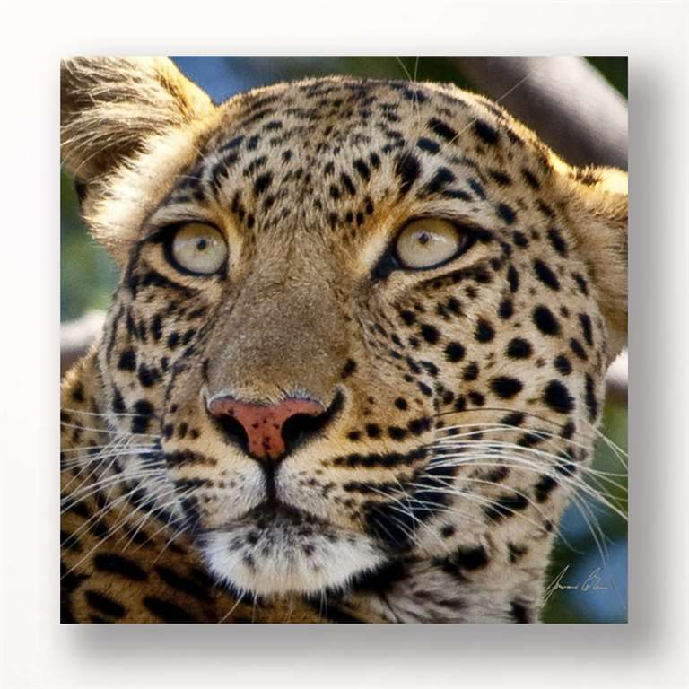 "24"" Stretched Canvas Leopard Head Print - Color Photo Print Close Up NEW"