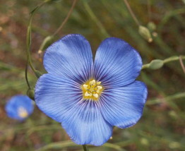 1000 Blue Flax Flower Seeds Linum Perenne Lewisii w/ Gift - $0.99