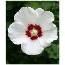 White Althea - Rose of Sharon - Flowering Shrub - 1 Plant in Gallon Pot - $86.00