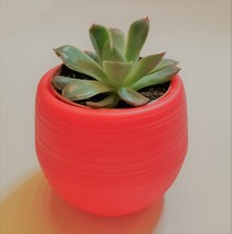 "Echeveria Succulent in Red Self-Watering Pot, Live E Pulidonis Plant, 3"" Planter - £10.67 GBP"