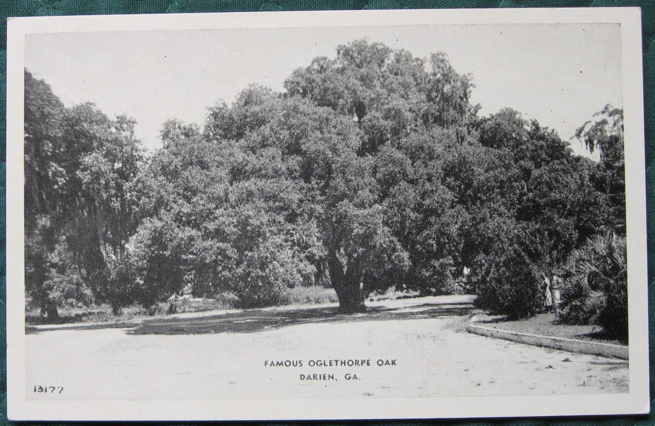 Oglethorpe oak 1 1