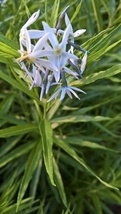 Threadleaf Bluestar, Amsonia hubrichtii, beautiful  - $3.50