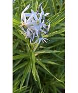 Threadleaf Bluestar, Amsonia hubrichtii, beautiful  - $3.50