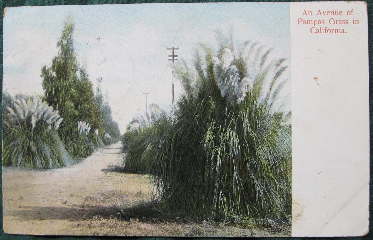 Pampas grass 1 1