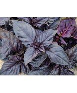 SHIPPED FROM US 2000 Dark Opal Basil Award Winning Variety Herb Seed, JK05 - $15.92