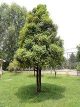 1 Starter Plant of Fokienia Hodginsii [DJHC 182] - Fujian Cypress - $63.36