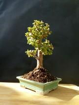 Extraordinary Bonsai - Portulacaria afra - 16 year old Plant - $47.04