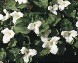 50 WHITE Trillium grandiflorumbare roots - $70.00