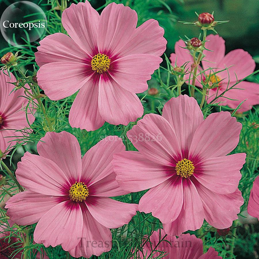 Heirloom Gloria Bipinnatus Cosmos Flowers And 50 Similar Items