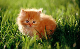 Digital download photo of a ginger cat - $0.10