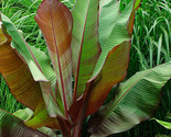 Plant_ensete_maurelii_-_red_abyssinian_banana__it_s_not_seeds_-01_thumb155_crop