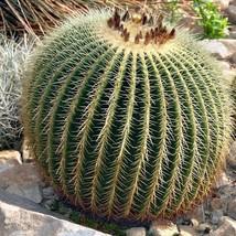 25Pcs Golden Barrel Cactus Seeds Echinocactus Grusonii Seed - $20.94