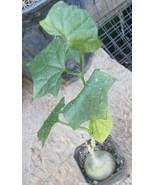 Gerrardanthus macrorhizus Smooth Green Fat Trunk Caudiciform Succulent P... - $11.83