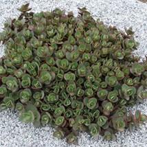 5 Sedum ' Lime Zinger '  Ground Cover - Live Plant - Deer Resistant Succulent - $37.32