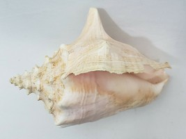 "Vintage Large Queen Conch Pink Strombus Lobatus 1 lb 6.2""oz Great condition - $18.55"