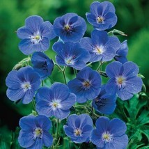 10 Blue Geranium Perennial Flowers Seeds #STL17 - $17.17