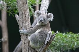Eucalyptus 300 thumb200