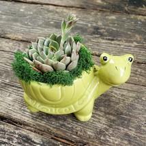 "Echeveria in Turtle Planter, Live Succulent, 5"" Green Ceramic Tortoise Pot"