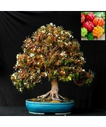 Eugenia Uniflora Bonsai Seeds - special and exotic tree - 20 seeds - $14.35