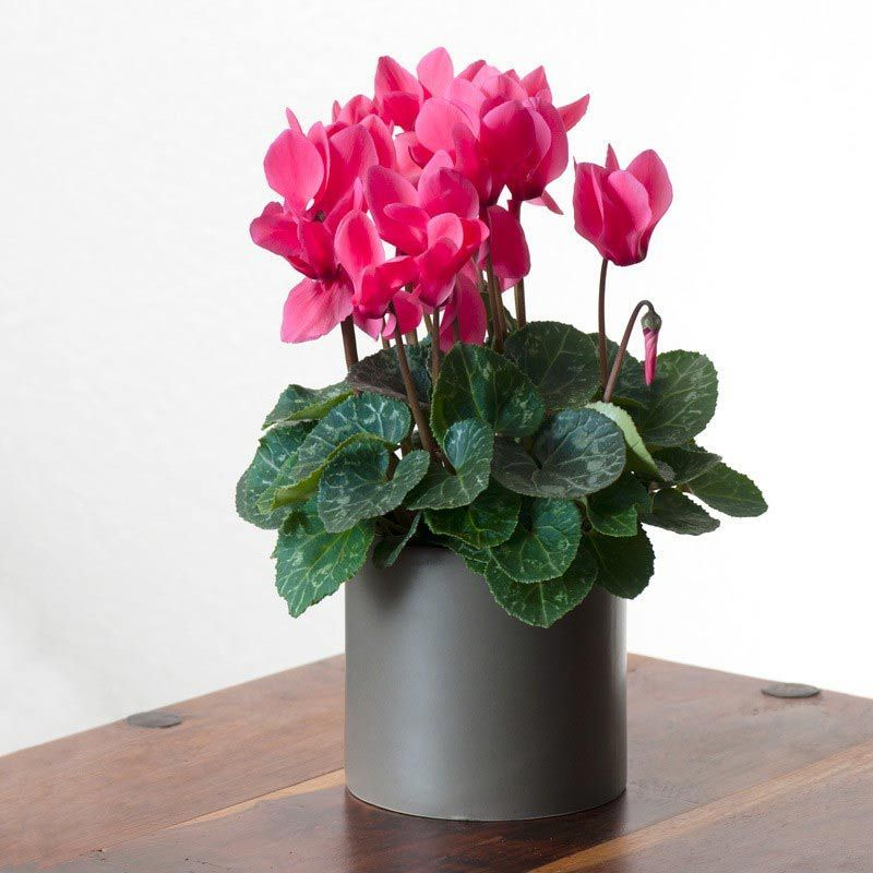 10seeds Cyclamen flower ,Ideal potted plants for 4 seasons ,beautiful color