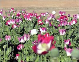 25 Giant Poppy Seeds-1143 - $2.98