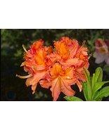 1 Starter Plant of Mandarin Lights Azalea - Rhododendron 'Mandarin Lights' - $81.18