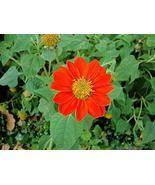 25 Seeds of Orange Mexican Sunflowers - Tithonia rotundifolia - $11.74