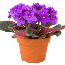 Beautiful Violet Flowers Perennial Herb Matthiola Incana Seeds, 100pcs - $6.55