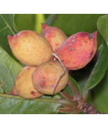 SHIP FROM US Almond tropical live Nut Tree Soft Shell Almond TPE3 - $87.20