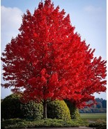Autumn blaze red maple tree  20 seeds  clearly superior tree seeds thumbtall