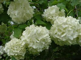 """Old Fashion Snowball Viburnum 4""""pot (Viburnum opulus roseum) image 1"""