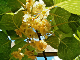 50 seeds - Golden Kiwi Fruit Yellow Actinidia Chinensis Vine #SFB15 - $17.99