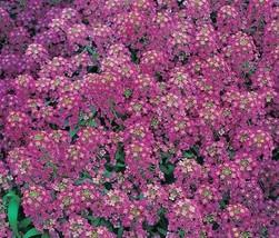3 Variety Very Beautiful Alyssum Royal Carpet Fresh Seeds #TLM1 - $15.99+