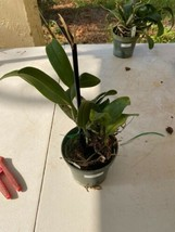 """Pot. Orglades Tradition 'Sunset"""" CATTLEYA Orchid Plant Pot BLOOMING SIZE 0409J image 2"""