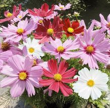 Mix 250 Seeds Garden Cosmos Flower Seeds  - $4.99