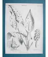 BOTANY Aromatic Plants Arum Maculatum Cuckow Pint - 1875 Antique Engravi... - $13.05