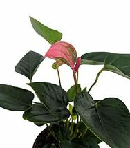 "Beauty Pink Anthurium Plant - Easy to Grow - House Plant - 4"" Pot - Grea... - $28.70"
