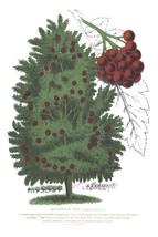 Seed Catalog: Mountain Ash - Seneca Seed Catalog - 1893 - $12.95+
