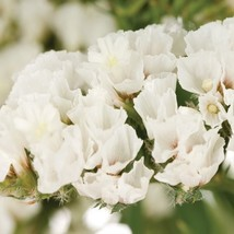 50+  WHITE STATICE  FLOWER SEEDS / LONG LASTING ANNUAL /  GREAT GIFT - $4.89