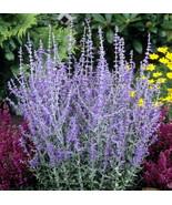 Live Plant - Little Spire Russian Sage Live Plant - Perovskia - Gallon P... - $67.00
