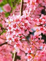 Okame Flowering Cherry tree 2 plants - $42.99