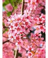 Okame Flowering Cherry tree 2 plants - $42.99