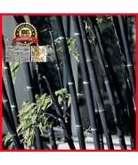 Bambooseed6 thumbtall